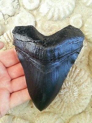 """5"""" megalodon tooth replica fossil big fossils giant sharks teeth"""