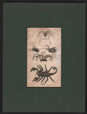 Original c1792 Scorpion Harvestman Spider MATTED Engraved Print Insect Bug