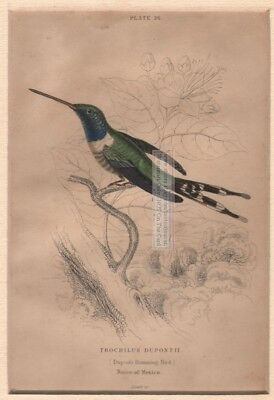 Original c1840 Dupont's  Hummingbird MATTED Hand Colored  Print