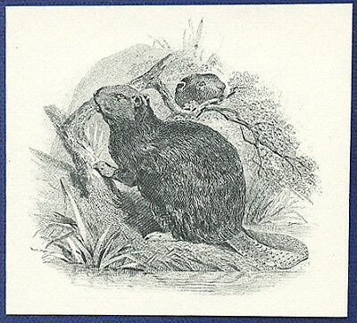 AMERICAN BANK NOTE Co. ENGRAVING: 20-72b CANADIAN BEAVER