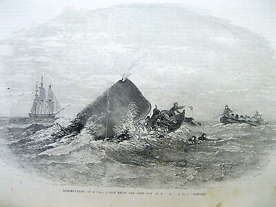<1852 illustrated newspaper ENGRAVING of WHALE UPENDING New Bedford WHALING BOAT