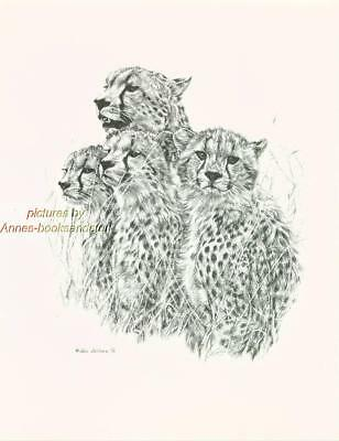 #144 CHEETAH FAMILY wild life art print Pen and ink drawing by Jan Jellins