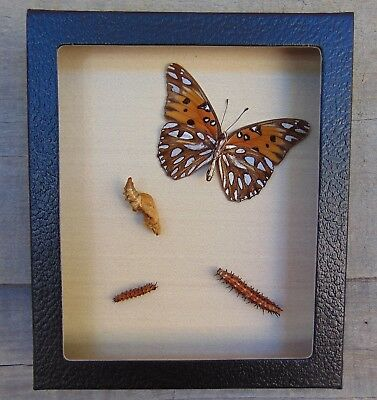 E565) Real Taxidermy GULF FRITILLARY BUTTERFLY Life Cycle 5X6 Framed caterpillar