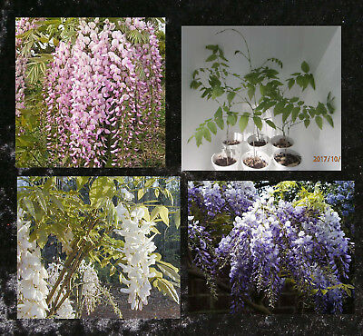 Wisteria Pink, White or Purple Flowers    ~~~~  PLANT ~~~~