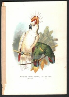 Tri Color Crested Cockatoo and Love Birds Original c1870s Color Print