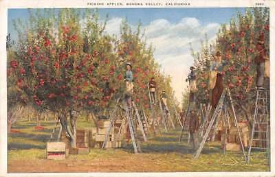 Sonoma Valley California Apple Orchard Picking Apples Antique Postcard J70892