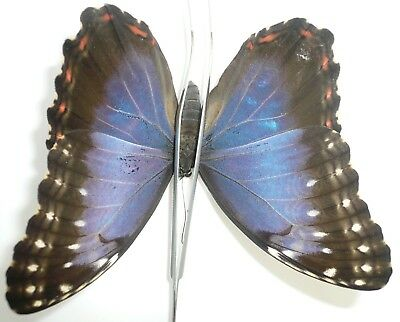 Morpho Helenor Ssp. Female From Belize