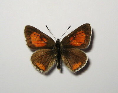 LYCAENIDAE  TOMARES DOBROGENSIS, MALE  from CRIMEA