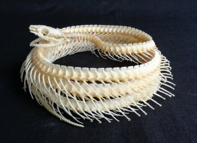 Taxidermy: Coelognathus Radiatus Coiled Up Skeleton