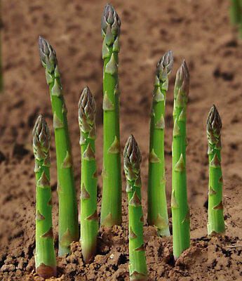 Vegetable  Asparagus - Uc 157 F2 - 200 Seeds