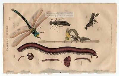 Dragonfly and Millipede Insects 1813 Hand Colored Engraving