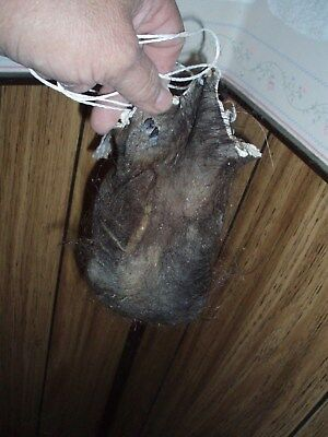 bison scrotum real buffalo Ball bag oddity nutsack gag gift mountain man bag A6