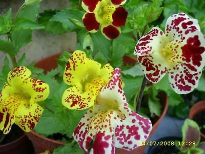 Mimulus tigrinus - Tiger Monkey Flower - Seeds