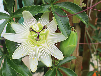 Passiflora caerulea - Hardy Blue Passion Flower - 15 Seeds