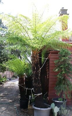 Tree Fern Cyathea Australis 2.3 Meter Trunk. Dug Up In Pot Armadale Melbourne