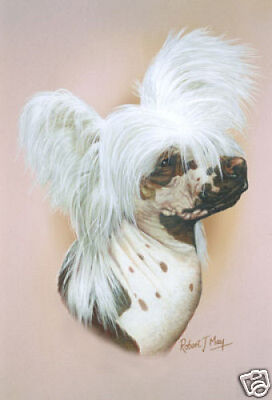 Robert J. May Head Study - Chinese Crested (RMDH043)