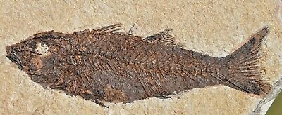 Fossil Fish, Knightia eocaena 4.45 inches, GRF, Kemmerer,  Wyoming, U.S.A.
