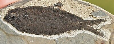 Fossil Fish, Knightia eocaena 4.0 inches, GRF, Kemmerer,  Wyoming, U.S.A.