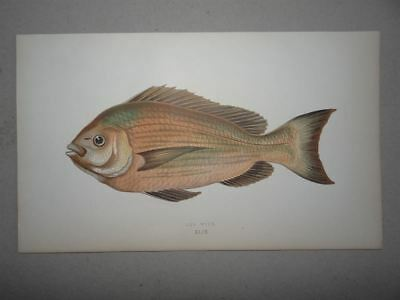 Old Wife Fisch Ichtylogie History of Fishes Couch Lydon Farbholzstich 1862