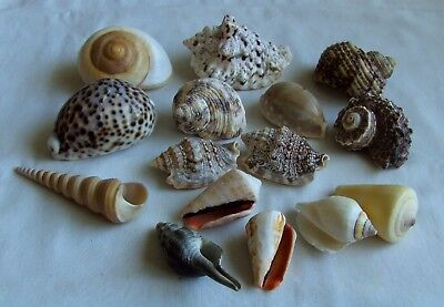Collection of 15 mixed sea shells in very good condition