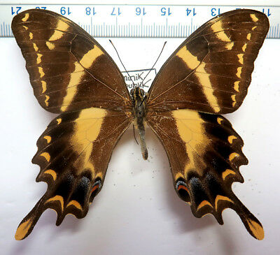 Papilio machaonides male *Dominican Republic*