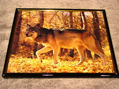 Wolf 8X10 Framed Picture #5