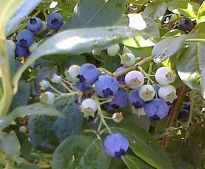 20 Blueberry Seeds Heirloom Plant Mix