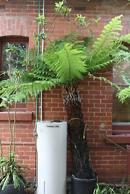 TREE FERN 1.6M ( 5ft) TRUNK. CUT READY TO GO. ARMADALE MELBOURNE