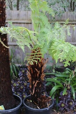 TREE FERN CYATHEA AUSTRALIS 80cm TRUNK. DUG UP IN POT ARMADALE MELBOURNE