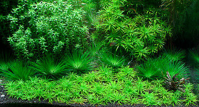 Carpeting carpet live aquarium plants tropical