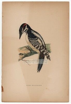 Hairy Woodpecker Bird  Original c1860 Morris Hand Colored Print