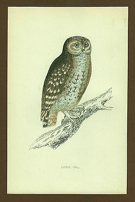 Eule Owl Chouette  No 1, engl Farblithographie ca. 1870