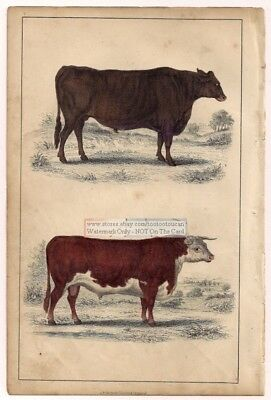 Cattle Suffolk And Herefordshire c1860 Hand Colored Lithography Print