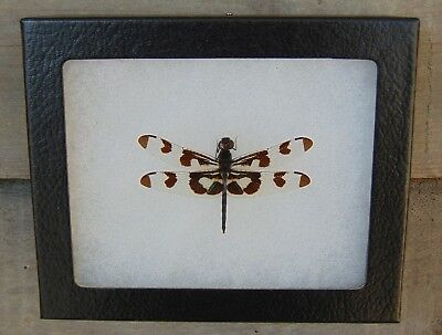 E390) Real Banded Pennant Dragonfly 4X5 frame display butterfly insect taxidermy