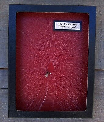 W5) Real Spined Micrathena Spider on actual Web framed shadowbox taxidermy USA