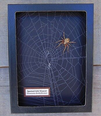 W3) Real Spotted Orb Weaver Spider on actual Web framed shadowbox taxidermy USA