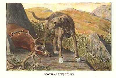 Scottish Deerhound - 1927 Vintage Dog Print - Matted