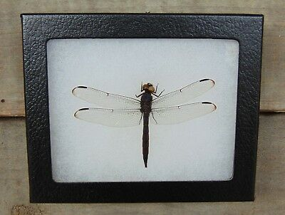 E392) Real Pond Hawk Dragonfly 4X5 frame display butterfly insect taxidermy USA