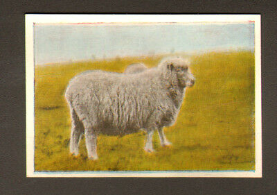 SHEEP Cotswold Sheep Antique 1930 Trading Card