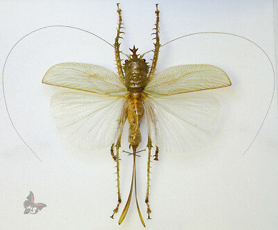 Panacanthus cuspidatus,!!RARE GRASSHOPPER from N.Peru!!,MOUNTED-see full descr.