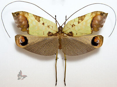 Pterochroza ocellata-Male-FORM2, 113mm, MOUNTED-see full description
