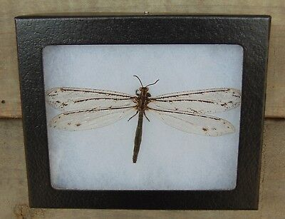 E394) Real ANT LION 4X5 framed display butterfly insect antlion taxidermy USA