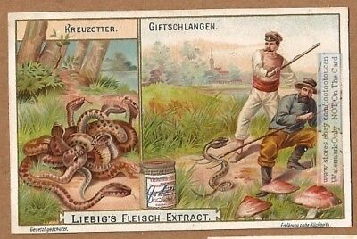 Snake South Africa Poisonous Adder Viper Reptile Kreuzotter 1902 Trade Ad Card g