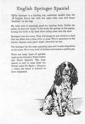 English Springer Spaniel - 1950 Vintage Dog Print - Matted