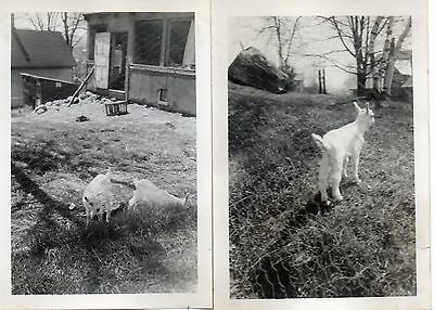 g578. (2) Original 1920s Photos of the Young Lambs at Midcoast Maine Farmhouse