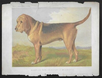 Bloohound Dog Cassell's Antique Chromolithograph c.1890