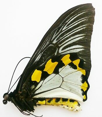 Troides (Ripponia) Hypolitus Antiopa Male From Halmahera Isl. A-