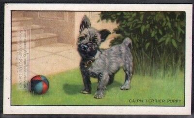 Cairn Terrier Dog 75+ Y/O Ad Trade Card