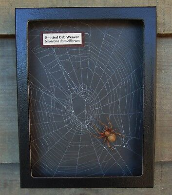 W6) Real Spotted Orb Weaver Spider on actual Web framed shadowbox taxidermy USA