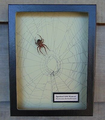 W7) Real Spotted Orb Weaver Spider on actual Web framed shadowbox taxidermy USA